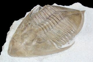 "4.1"" Rare Megistaspidella Trilobite - Russia (Special Price) For Sale, #74015"