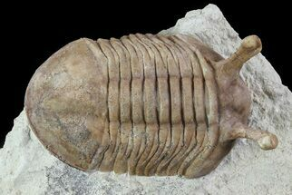 "1.55"" Asaphus Kowalewskii Trilobite With Stalk Eyes For Sale, #74030"