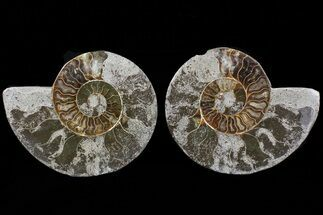 Cleoniceras - Fossils For Sale - #73965