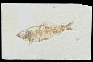 "4"" Knightia Fossil Fish - Wyoming For Sale, #74108"