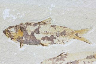 "3.6"" Knightia Fossil Fish - Wyoming For Sale, #74096"