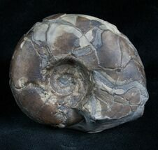 "Buy 1.9"" Sowerbyceras Ammonite - French, Alps - #5806"
