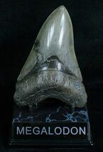 Buy Beautiful Lower Megalodon Tooth - Dagger - #5815