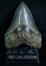 "Razor Sharp 5.66"" Megalodon Tooth  For Sale, #5816"