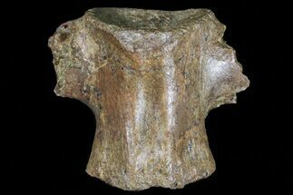 "1.2"" Theropod (Raptor) Vertebrae - Hell Creek Formation For Sale, #73100"