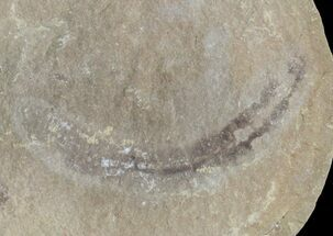 ".9"" Astreptoscolex Fossil Worm (Pos/Neg) - Mazon Creek For Sale, #70601"