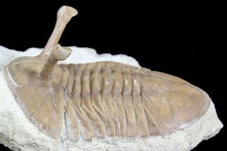 "Buy 2.35"" Asaphus Kowalewskii Trilobite With Stalk Eyes - #74671"