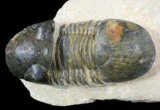 "Buy 2.5"" Paralejurus Trilobite Fossil - Foum Zguid, Morocco - #53527"