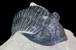 "Bargain, 2"" Metacanthina Trilobite - Lghaft, Morocco For Sale, #74708"