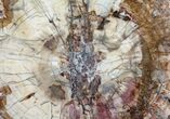 "13"" Colorful Petrified Wood (Araucaria) - Madagascar  - #74853-2"