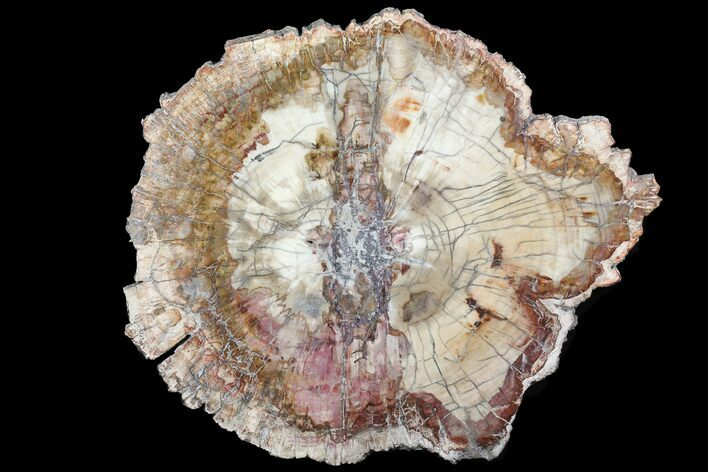 "13"" Colorful Petrified Wood (Araucaria) - Madagascar"
