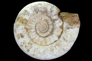 "Buy Monster, 17"" Jurassic Ammonite Fossil - (Special Price) - #74848"