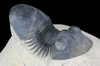 "Buy 2.1"" Paralejurus Trilobite Fossil - Foum Zguid, Morocco - #75478"