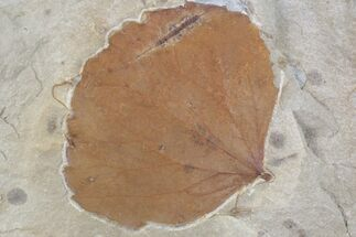 "Buy 2.9"" Detailed Fossil Leaf (Zizyphoides) - Montana - #75862"
