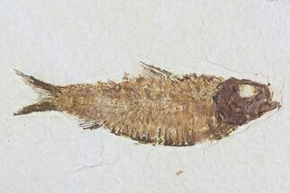 "Buy 4"" Knightia Fossil Fish - Wyoming - #75874"