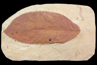 "Buy 5.1"" Fossil Persea (Laurel) Leaf - Montana - #75808"