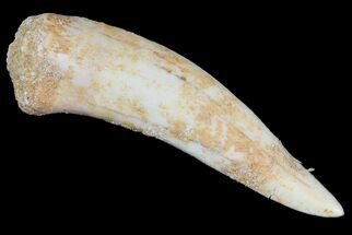 "2"" Enchodus Fang - Extinct Bony Fish For Sale, #76067"