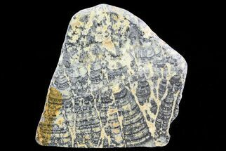 Asperia ashburtonia - Fossils For Sale - #76200