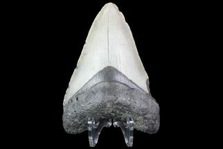 "Buy Bargain, 3.88"" Megalodon Tooth - North Carolina - #76300"