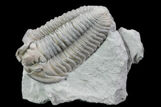 Flexicalymene retrorsa - Fossils For Sale - #76371