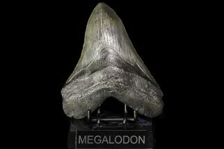 Carcharocles megalodon - Fossils For Sale - #76458