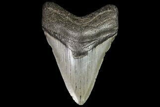 Carcharocles megalodon - Fossils For Sale - #76497