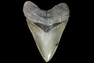 "5.70"" Megalodon Tooth - Great Enamel & Serrations! For Sale, #76661"