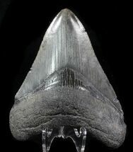 "3.61"" Fossil Megalodon Tooth - Serrated Blade For Sale, #76550"