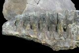"6.2"" Hadrosaur (Kritosaurus) Jaw Section - Texas - #76740-2"