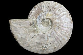 "6.1"" Silver Iridescent Ammonite - Madagascar For Sale, #77111"