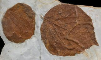 Two Detailed Fossil Leaves (Zizyphoides & Davidia) - Montana For Sale, #76934