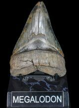 Carcharocles megalodon - Fossils For Sale - #77667