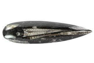 "Polished Orthoceras (Cephalopod) - 5.1"" Long For Sale, #77588"