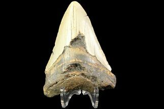 "Buy Bargain, 3.97"" Megalodon Tooth - North Carolina - #77581"