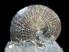 "3.6"" Sphenodiscus Ammonites with Gorgeous Sutures - SD For Sale, #77849"