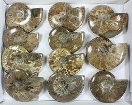 Cleoniceras - Fossils For Sale - #77760