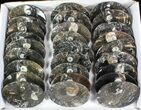 "Wholesale Lot:  5"" Goniatite Fossil Dishes - 48 Pieces - #77758-2"