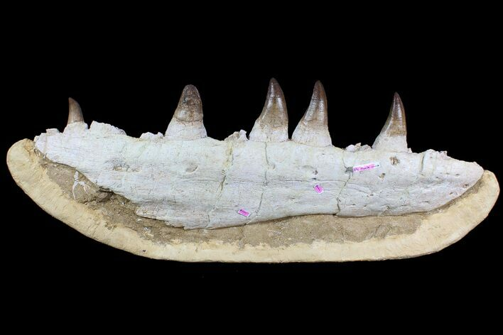 "Massive, 25"" Mosasaur (Prognathodon) Jaw - With Huge Bite Mark!"