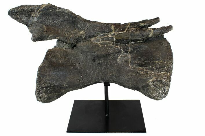 "13.5"" Diplodocus Caudal Vertebrae With Metal Stand - Colorado"