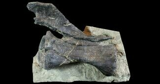 Diplodocus sp. - Fossils For Sale - #77937