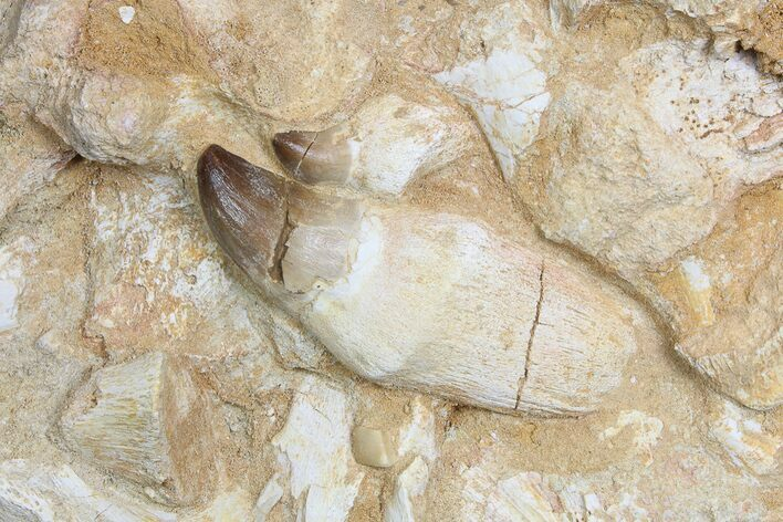 Two Rooted Mosasaur Teeth With Jaw Fragments - Morocco