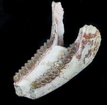"Buy 4.3"" Oligocene Horse (Mesohippus) Lower Jaws - South Dakota - #78127"