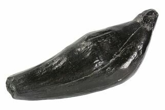 "5.8"" Fossil Sperm Whale (Scaldicetus) Tooth For Sale, #78221"