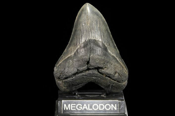 "Serrated, 5.05"" Fossil Megalodon Tooth - Georgia"