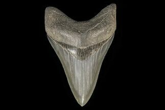 "Buy Serrated, 3.61"" Fossil Megalodon Tooth - Beautiful, Lower - #78196"