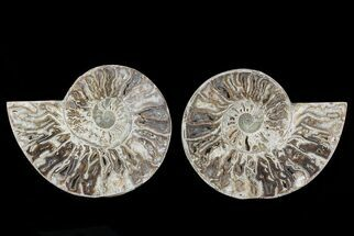 "Buy 8.8"" Choffaticeras (""Daisy Flower"") Ammonite - Madagascar - #78358"