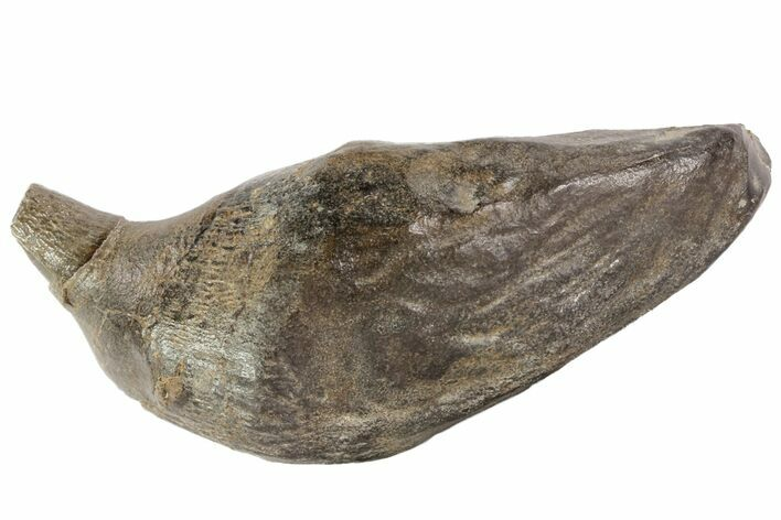 "4.7"" Fossil Sperm Whale (Scaldicetus) Tooth"