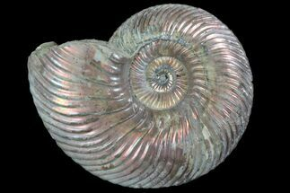 "Buy 1.85"" Iridescent Ammonite (Quenstedtoceras) Fossil With Pyrite - #78490"