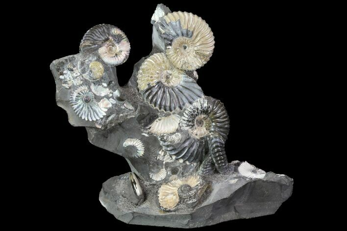 "Gorgeous, 5.8"" Tall Iridescent Ammonite Cluster - Russia"