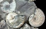 "Gorgeous, 7.7"" Tall Iridescent Ammonite Cluster - Russia - #78534-3"